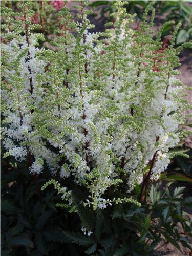 Astilbe - Short'n Sweet Whiteberry