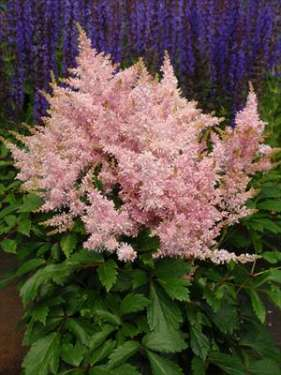 Astilbe - Sugarberry