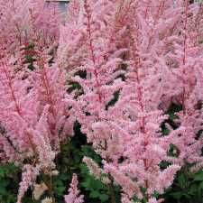 Astilbe - chinensis Mighty Pip