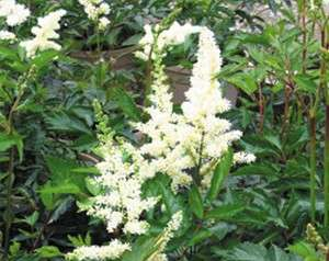 Astilbe - chinensis Vision in White