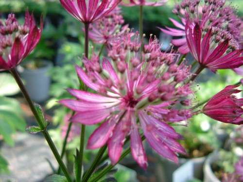 Astrantia - major Ruby Wedding