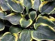 Hosta - Battle Star