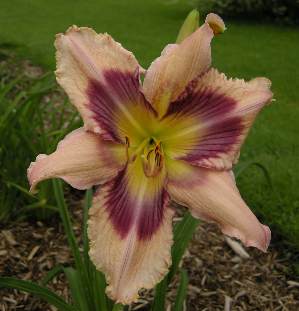 Hemerocallis - Chama Valley (DC)