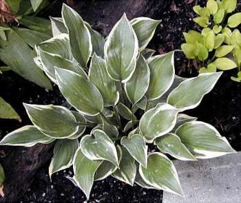 Hosta - Chantilly Lace