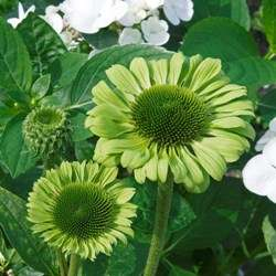 Echinacea - Green Jewel