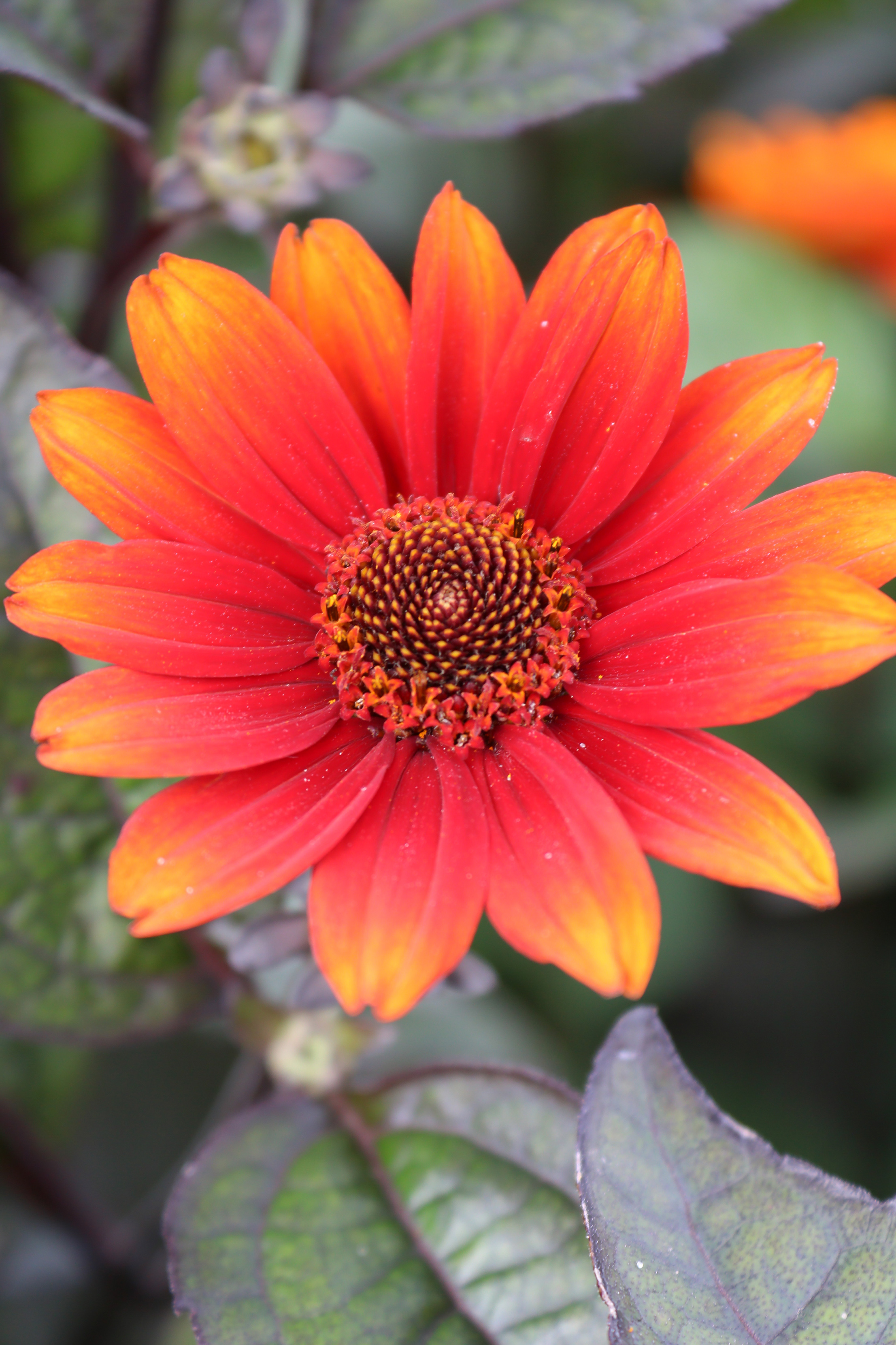 Heliopsis - helianthoides Red Shades