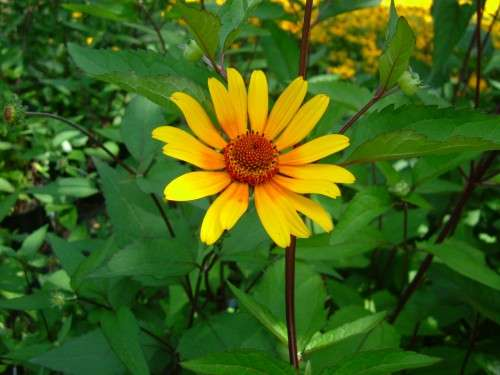 Heliopsis - Summer Night