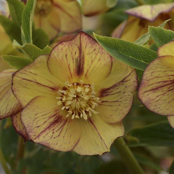Helleborus - HONEYMOON Tropical Sunset