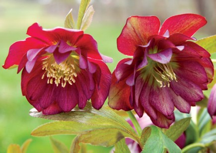 Helleborus - WINTER JEWELS Berry Swirl