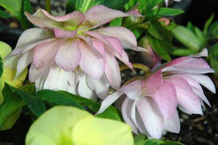 Helleborus - WINTER JEWELS Cotton Candy
