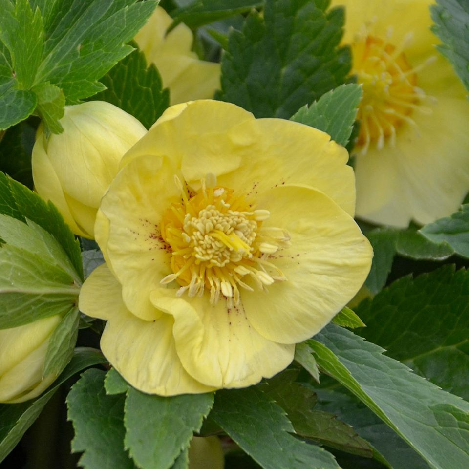 Helleborus - HONEYMOON California Dreaming