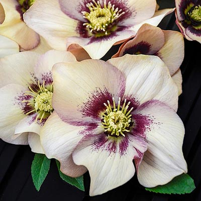 Helleborus - HONEYMOON Sandy Shores