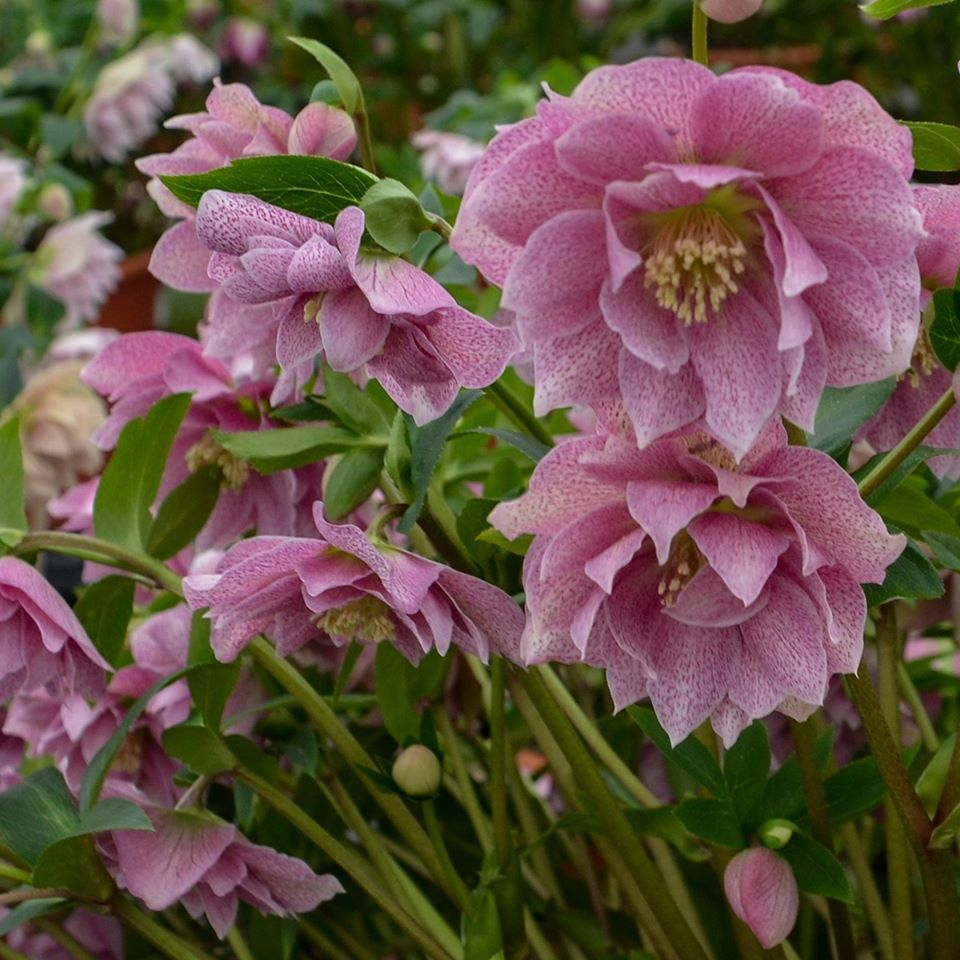 Helleborus - WEDDING PARTY Wedding Crasher