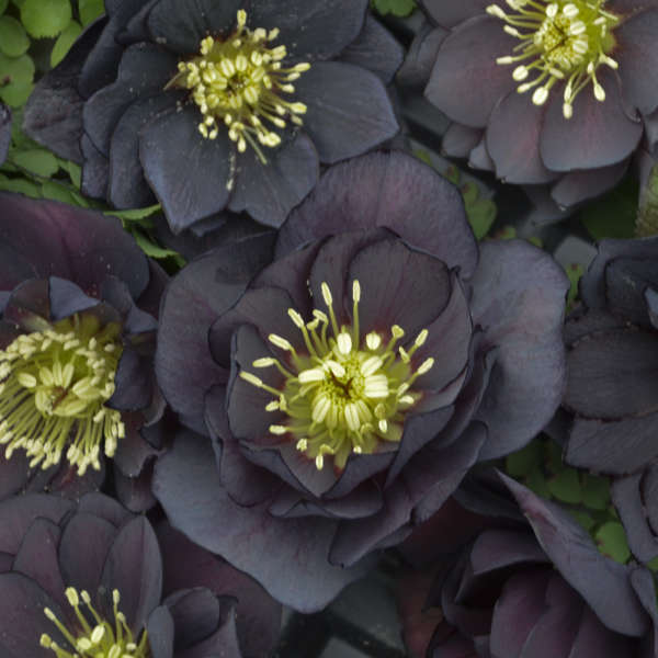 Helleborus - WEDDING PARTY Dark and Handsome