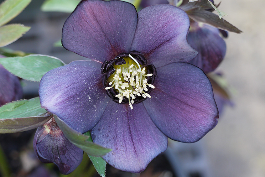Helleborus - WINTER JEWELS Blue Diamond