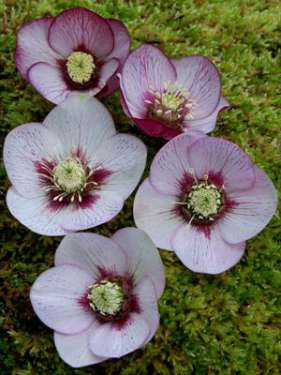 Helleborus - WINTER JEWELS Cherry Blossom