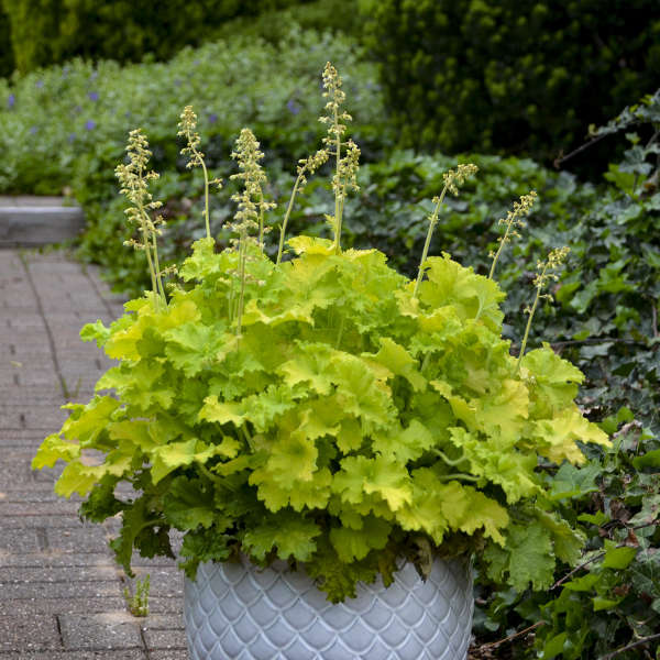 Heuchera - Twist of Lime
