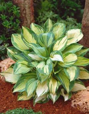 Hosta - Great Expectations