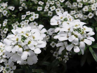 Iberis - sempervirens Snow Flake