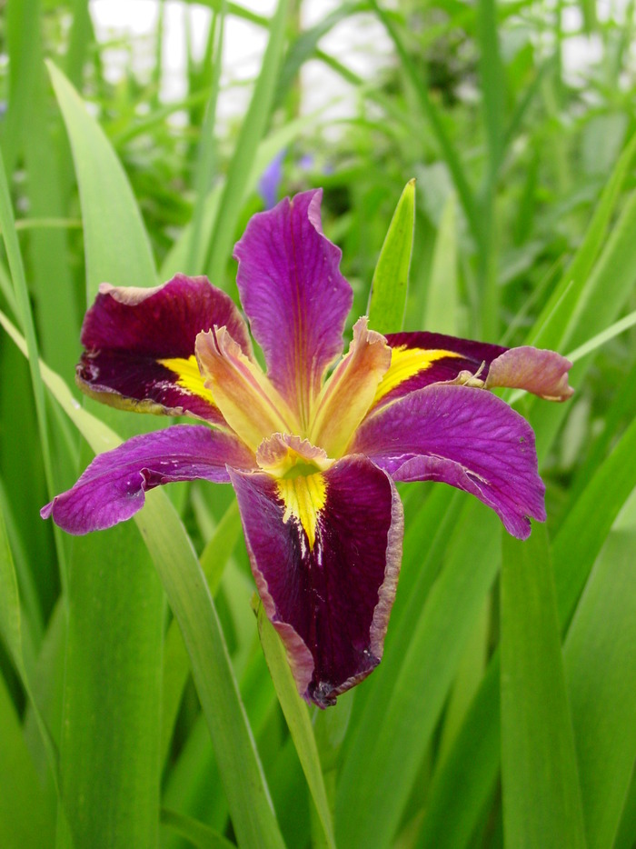 Iris - louisiana Jack Attack
