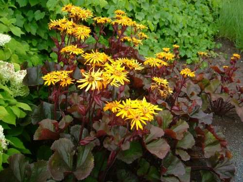 Ligularia - dentata Britt-Marie Crawford