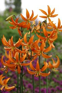Lilium - martagon Orange Marmalade