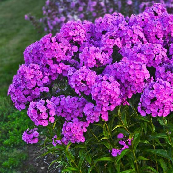 Phlox - Fashionably Early Flamingo