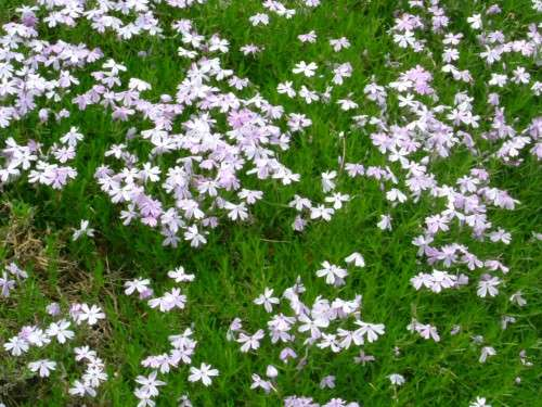 Phlox - subulata Emerald blue