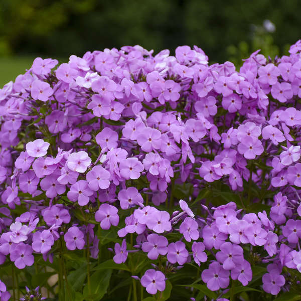 Phlox - Fashionably Early Princess