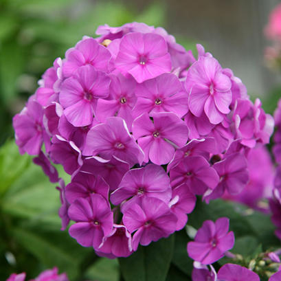 Phlox - paniculata Flame Series Purple