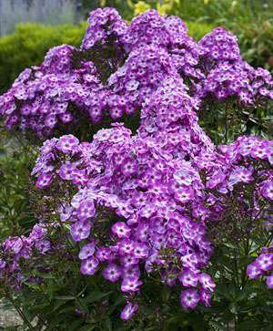 Phlox - paniculata Pixie Miracle Grace
