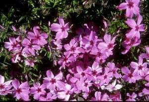 Phlox - subulata Red Wings