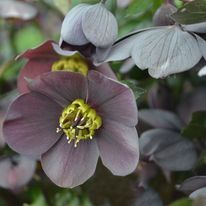 Helleborus - HONEYMOON Vegas Nights