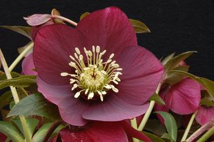 Helleborus - WINTER JEWELS Ruby Wine