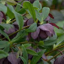 Helleborus - WEDDING PARTY Dashing Groomsman