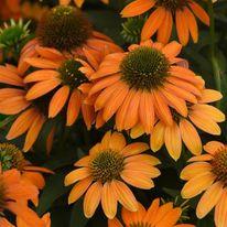 Echinacea - x hybrida Artisan Soft Orange