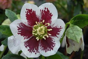 Helleborus - WINTER JEWELS Painted
