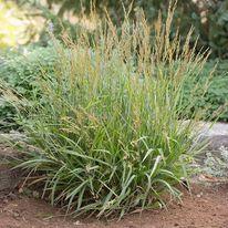 Calamagrostis - Cheju Do