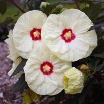 Hibiscus - SUMMERIFIC French Vanilla