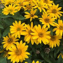 Heliopsis - Tuscan Gold