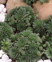 Sempervivum - pilioseum