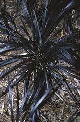 Ophiopogon - planiscarpus Nigrescens