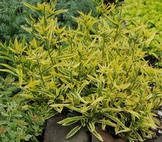 Centaurea - nigra Variegata