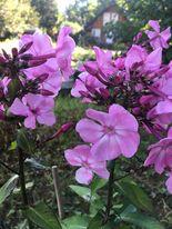 Phlox - paniculata Lilac Flame