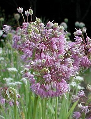 Allium - stellatum