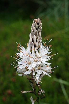 Asphodelus - albus