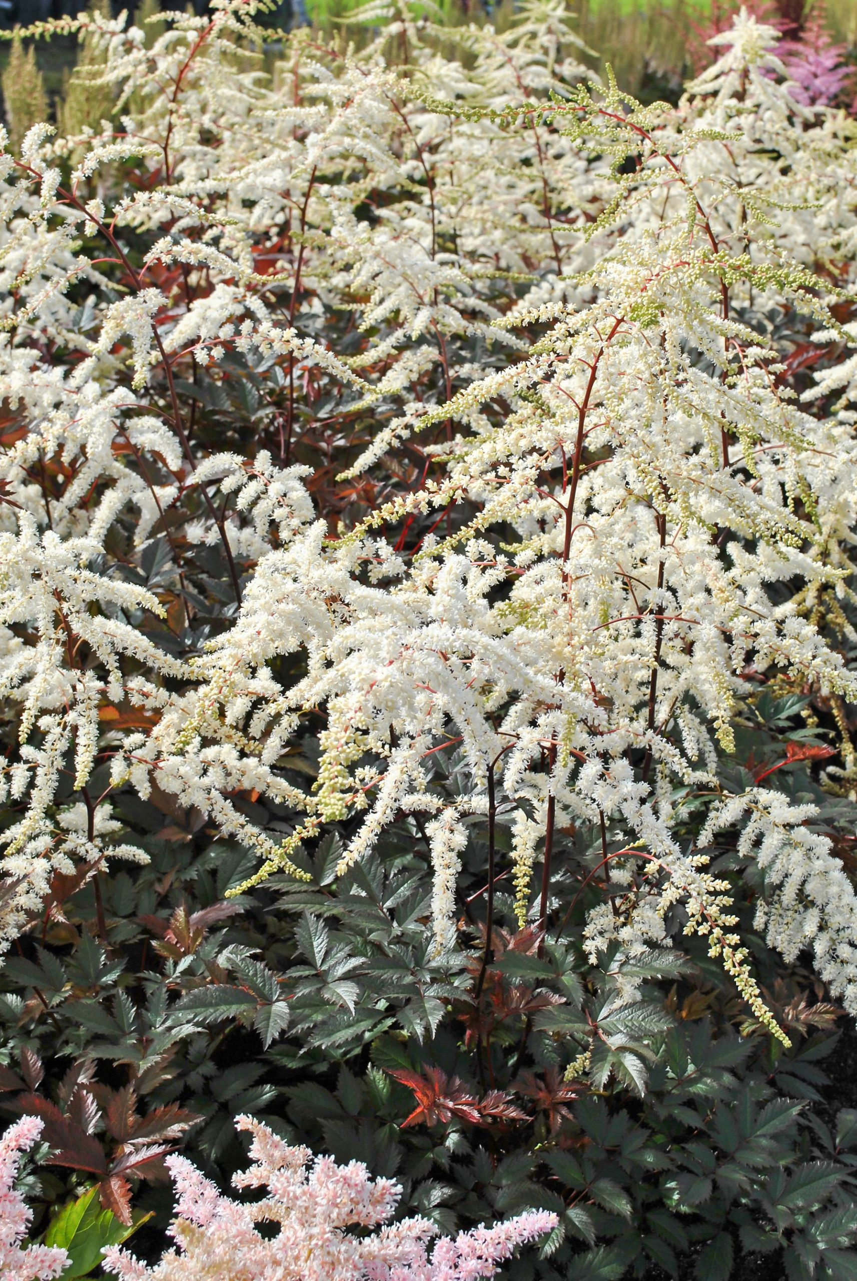 Astilbe - arendsii Moccachino