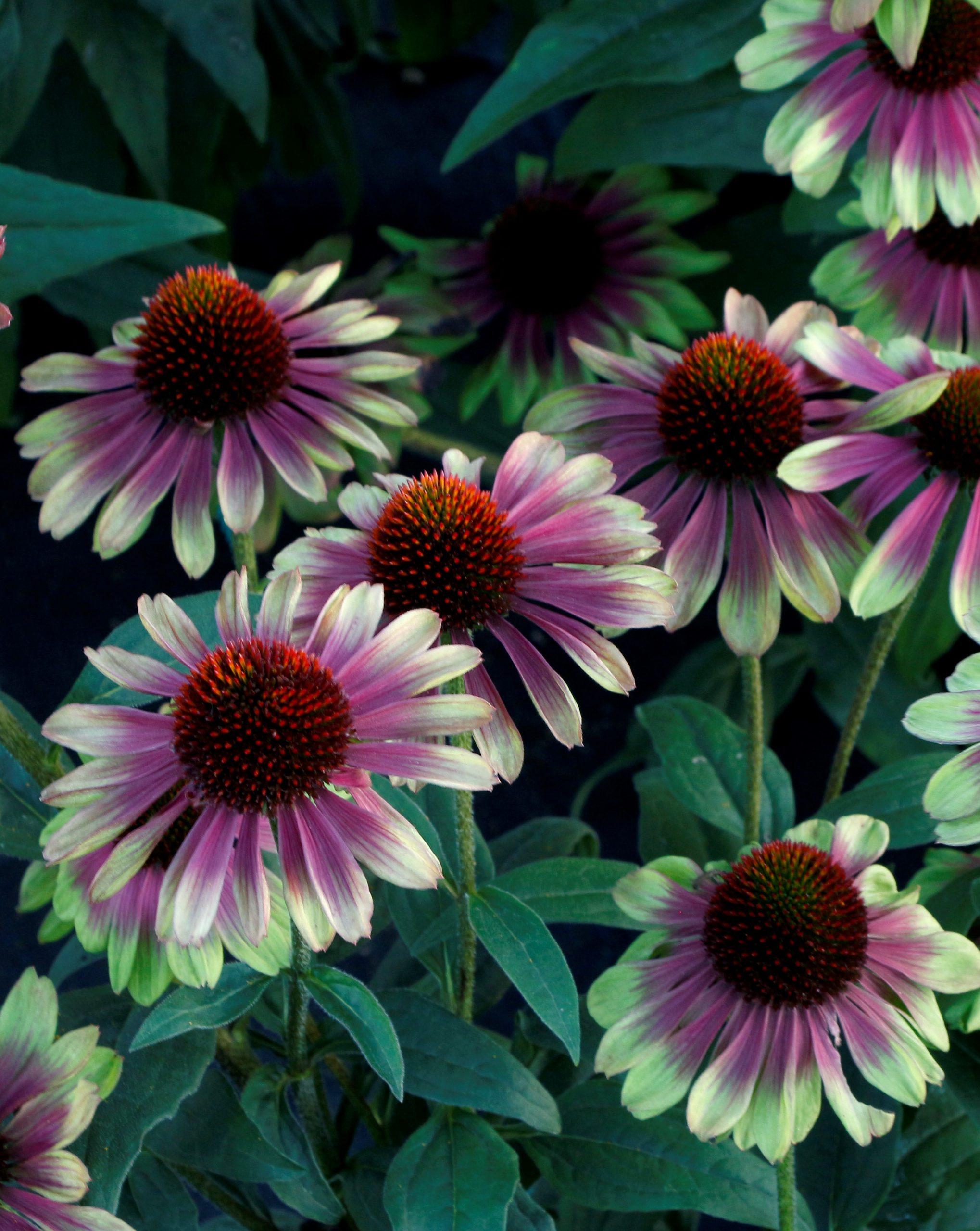 Echinacea - Sweet Sandia