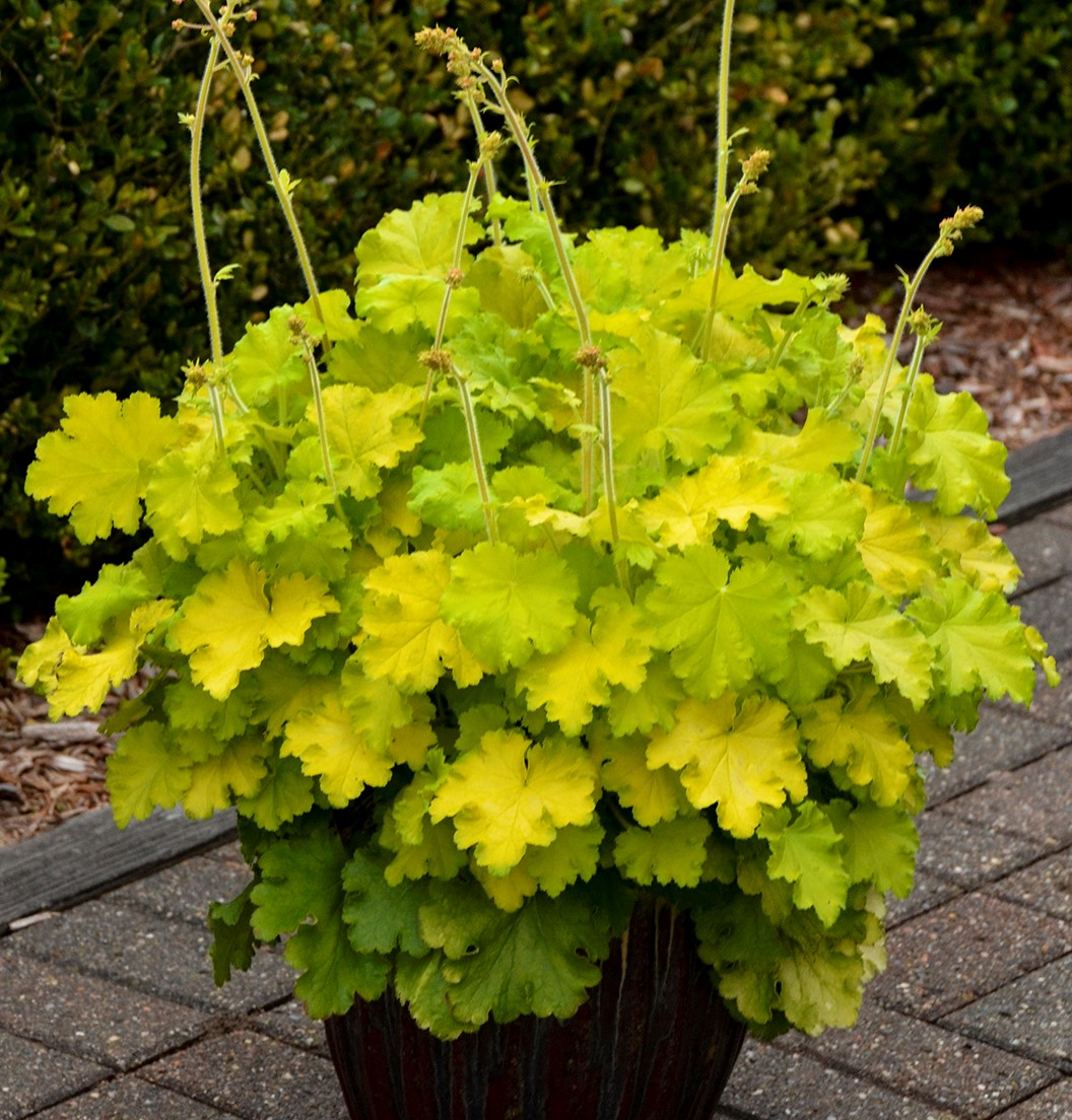 Heuchera - Lemon Love
