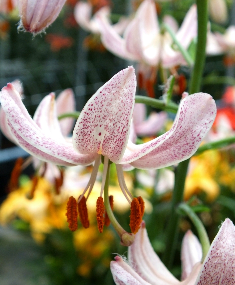 Lilium - martagon Pink Morning